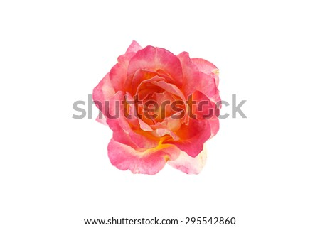 Rose in full bloom isolated on white background. - stock photo