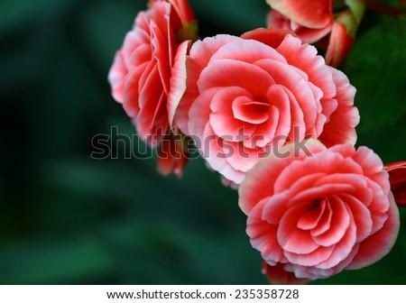 rose in garden - stock photo