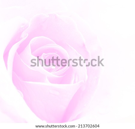 Rose in soft abd blurred for background