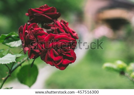 Rose in the garden. Beautiful retro photo of a flower. Rose with buds and green leaves. Vintage toned photography. Tender dusty red. Velvet dark - stock photo