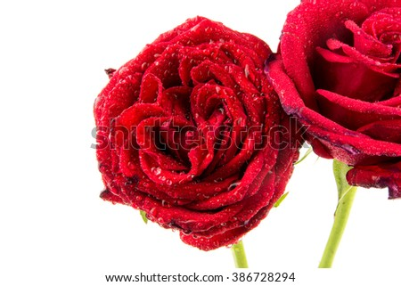 rose is with drops of dew / Red rose with rain drops isolated on white background / perfect seamless pattern tiled beautiful roses / nature texture studio photo