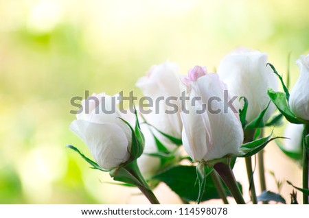rose isolated on a green background