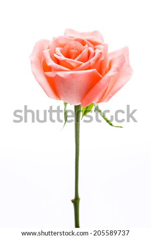 Rose isolated on white