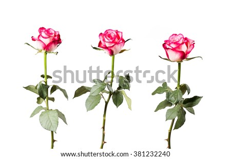 Rose isolated on white background. Pink rose with free space  - stock photo