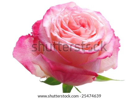 Rose isolated over white background
