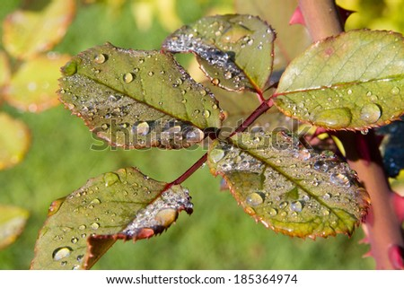 rose leaves and morning dew