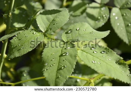 Rose leaves with water droplets after rain - stock photo