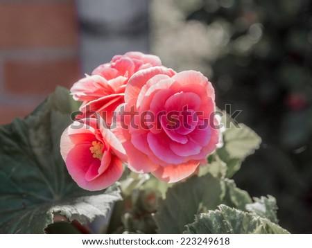 Rose meadow flower - stock photo