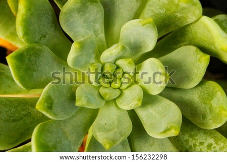 Rose of a succulent plant - stock photo