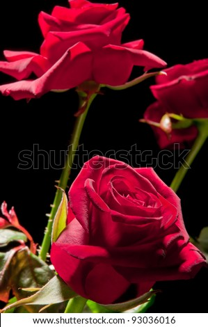 Rose on a black background - stock photo