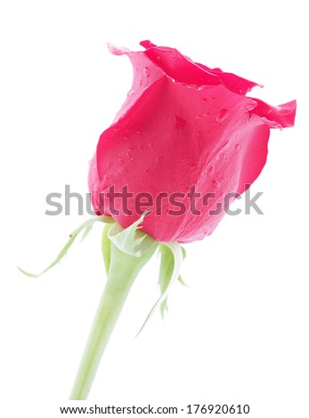 Rose on a white background - stock photo
