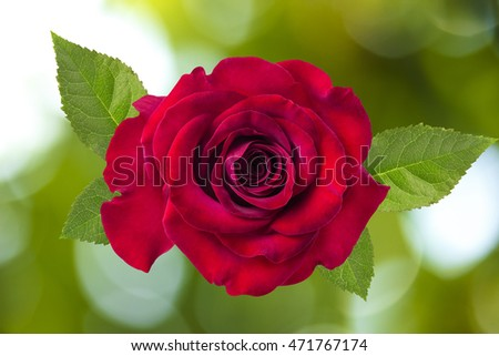rose on beautiful sunny abstract natural  bokeh