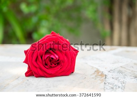 Rose on the marble table. - stock photo