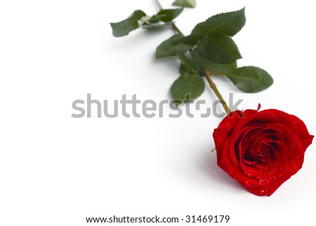 Rose on white - stock photo