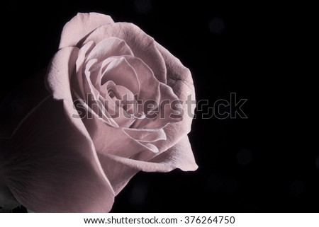 Rose pastel color - stock photo