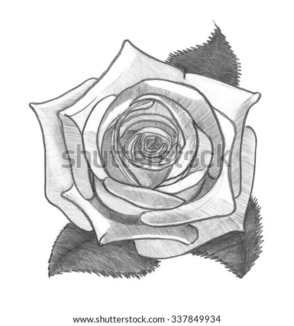 Rose. Pencil drawing. Monochrome image.  - stock photo