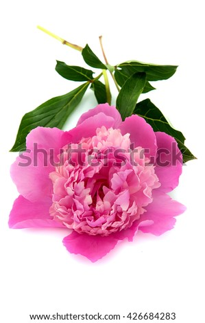 Rose peony isolated on white background