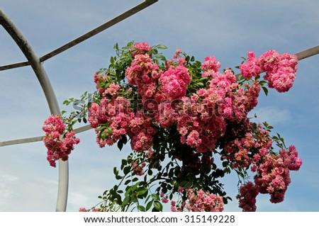 Rose pergola in progress - stock photo