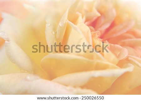 rose petals in pastel shades with dew drops - stock photo