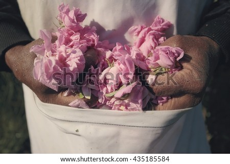 Rose picker hands hold rose flowers in front of apron