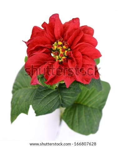 Rose poinsettias  - stock photo