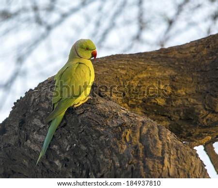 Rose Ringed Parakeet closeup shot - stock photo