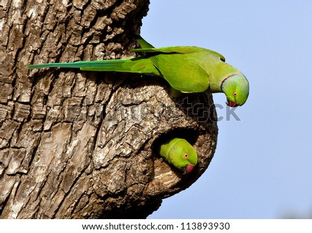 Rose ringed parakeet pair - stock photo