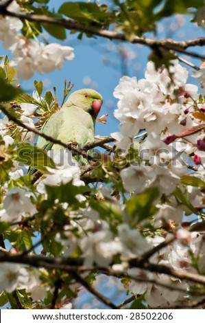 Rose-ringed Parakeet, surrounded by spring blossom - stock photo