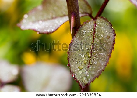 Rose thorn with dew rain water drops on the leaves with red edges  macro - stock photo