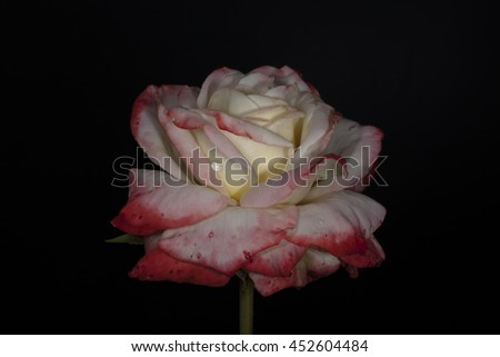 rose with a water drop on a black background