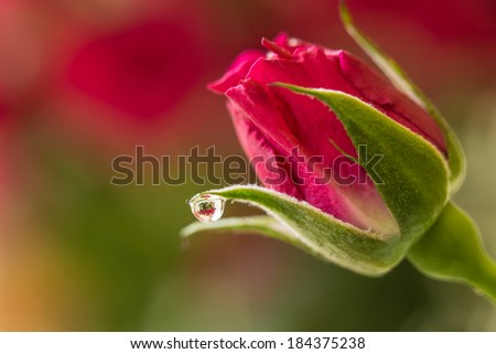 Rose with Bouquet Refraction