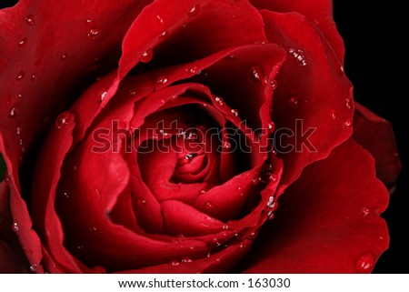 Rose with water droplets - stock photo