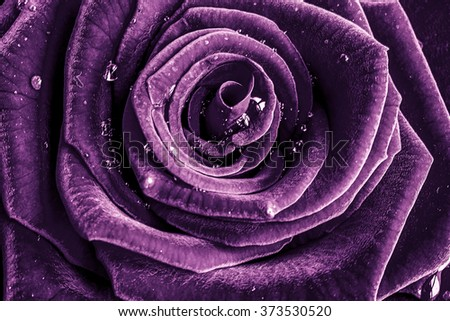 Rose with water drops - stock photo