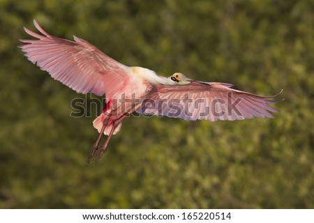 Roseate Spoonbill (Ajaja ajaja) landing - Alafia Banks, Florida. - stock photo
