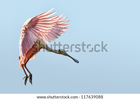 roseate spoonbill flaring for landing in florida everglades - stock photo
