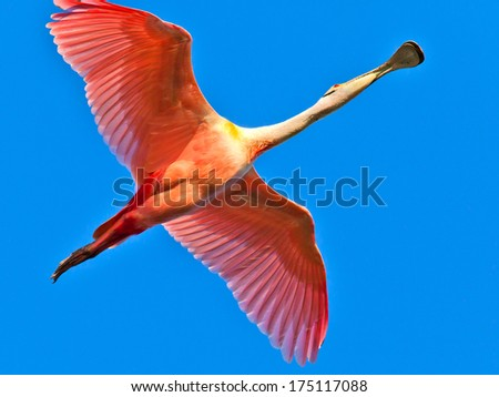Roseate Spoonbill (Platalea ajaja) flying against  blue sky - stock photo