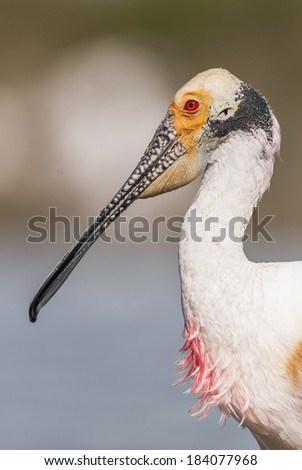 Roseate Spoonbill (Platalea ajaja) portrait. Patagonia, Argentina, South America - stock photo