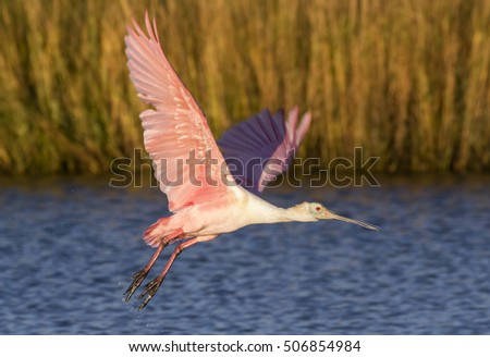 Roseate spoonbill (Platalea ajaja) taking off in the shallow water of tidal marsh, Galveston, Texas, USA.