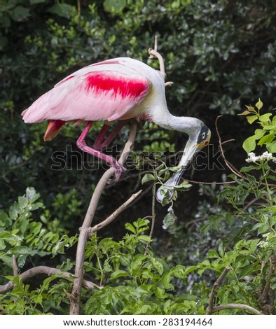 Roseate spoonbill (Platalea ajaja) tearing a tree branch for building nest, High Island, Texas, USA. - stock photo