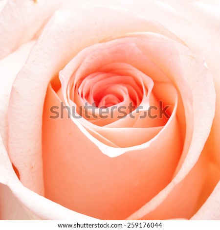 Rosebud macro. Shallow DOF! - stock photo