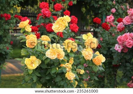 rosebush - stock photo