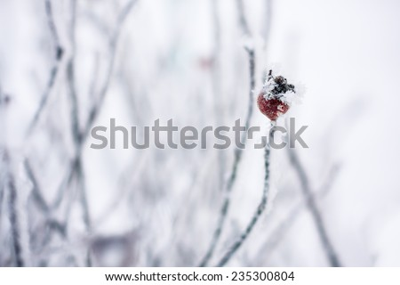 rosehip berries in the frost winter background - stock photo