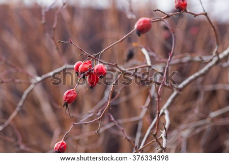 rosehip berries on branch