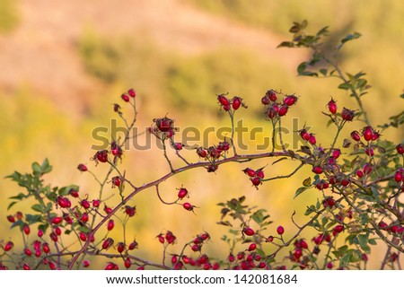 Rosehip berries. Red fruit of wild rose (Rosa canina) in autumn with sunny background sunset - stock photo