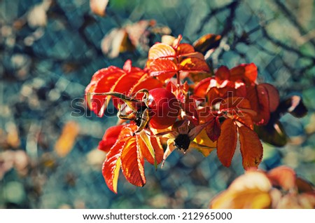 Rosehip berries with golden leaves, natural autumn vintage  seasonal background - stock photo