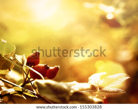 rosehip in autumn sunshine - stock photo