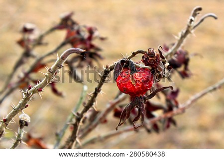 Rosehips / Last year's dried rose hips. Prickly branches of a wild rose. - stock photo