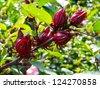 Roselle fruits (Hibiscus sabdariffa L.), Thailand - stock photo