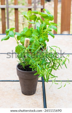 Rosemary and basil  plants in  flower pots with name tag. selective focus, shallow dof - stock photo