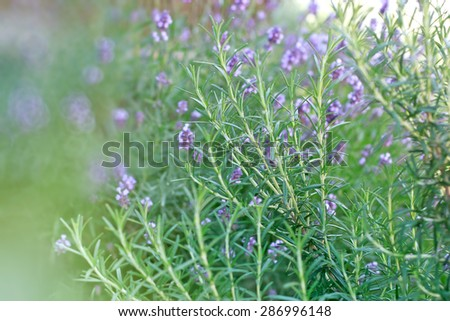 Rosemary and lavender as background in my garden  - stock photo